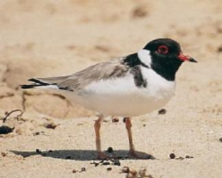 Hooded Plover thin rub