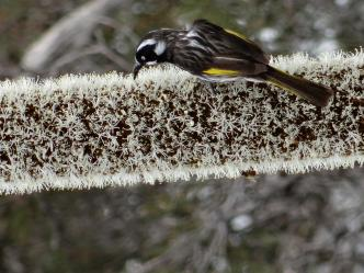 New Holland Honey eater on Yakka flowerhead